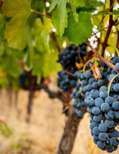 palato-do-coa-uvas